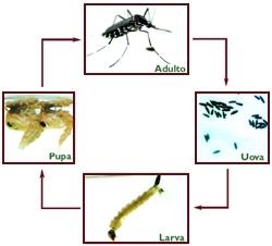 Ciclo di vita della zanzara tigre